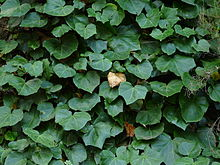 can rabbits eat ivy